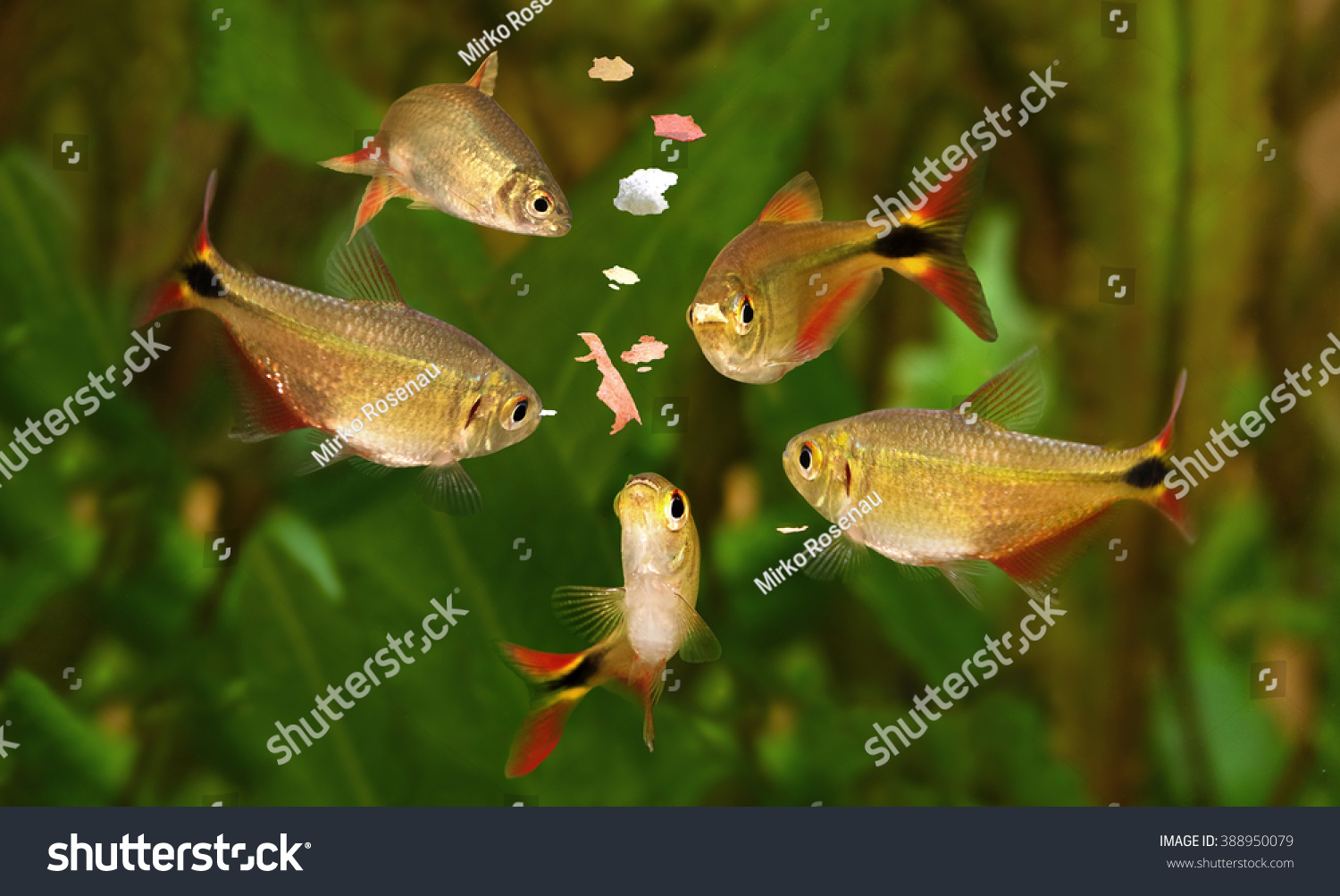 Feeding swarm buenos aires tetra aquarium stock photo for Freshwater fish to eat