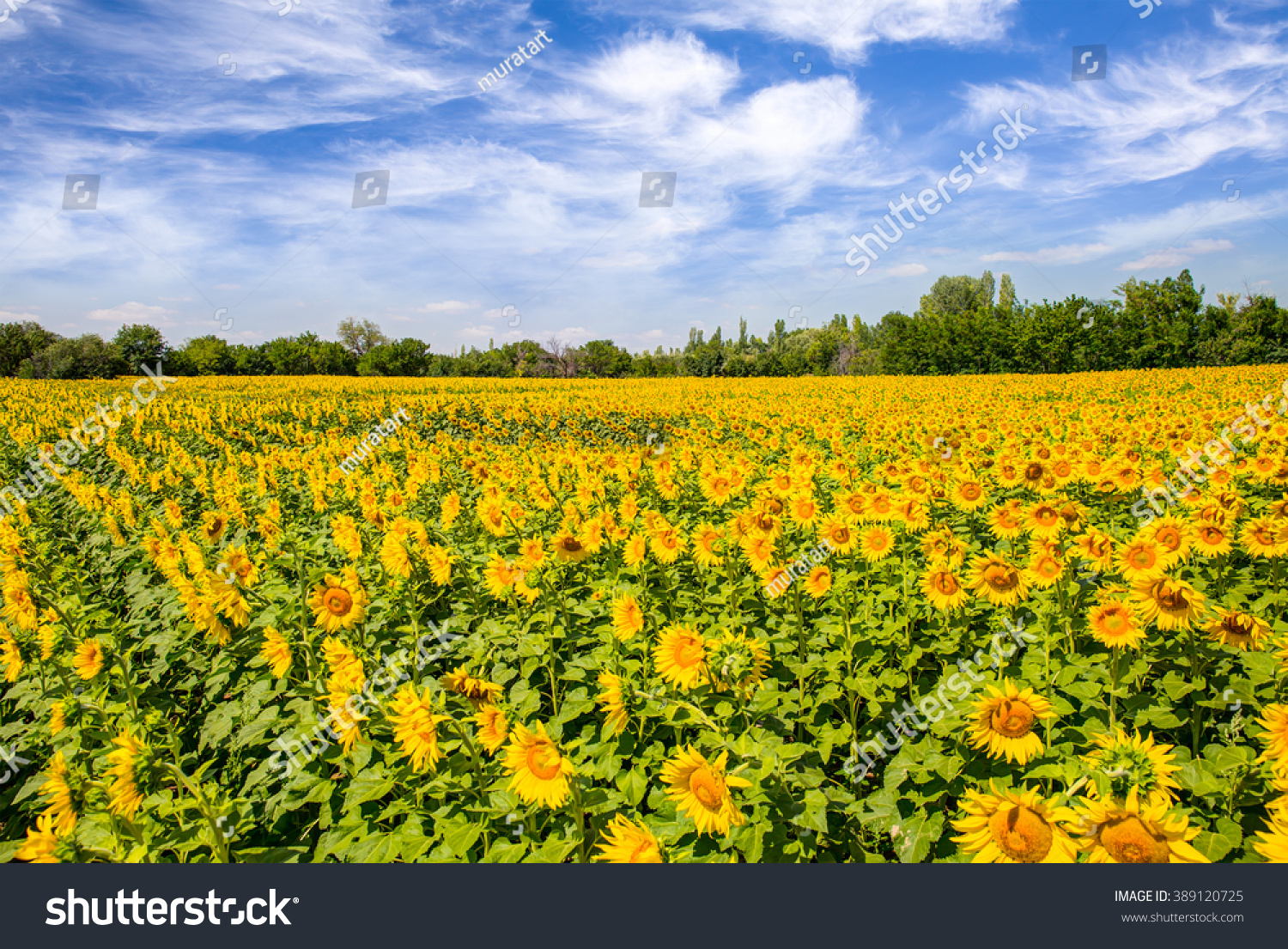 Sunflower Field Royalty Free Sunflower Crop Stock Maid