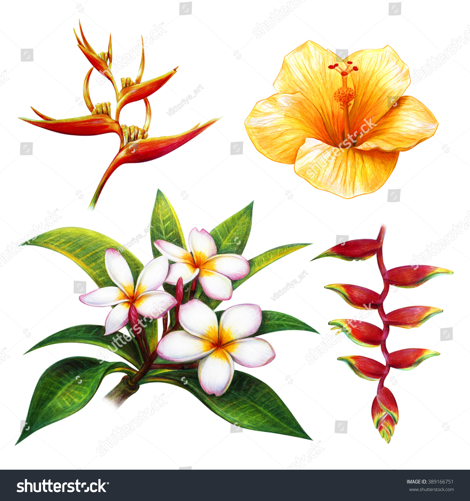 Tropical Flower Drawing Set Frangipani Heliconia Stock ...