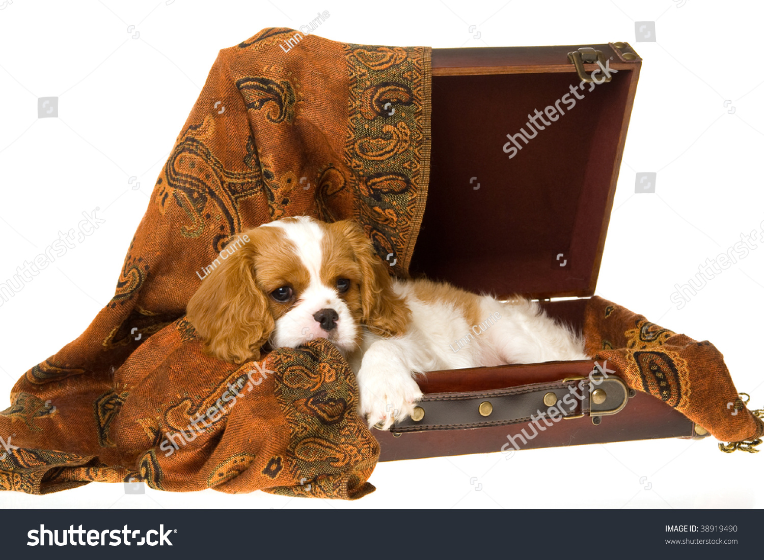 Cute Cavalier King Charles Spaniel Puppy Stock Photo Edit Now 38919490