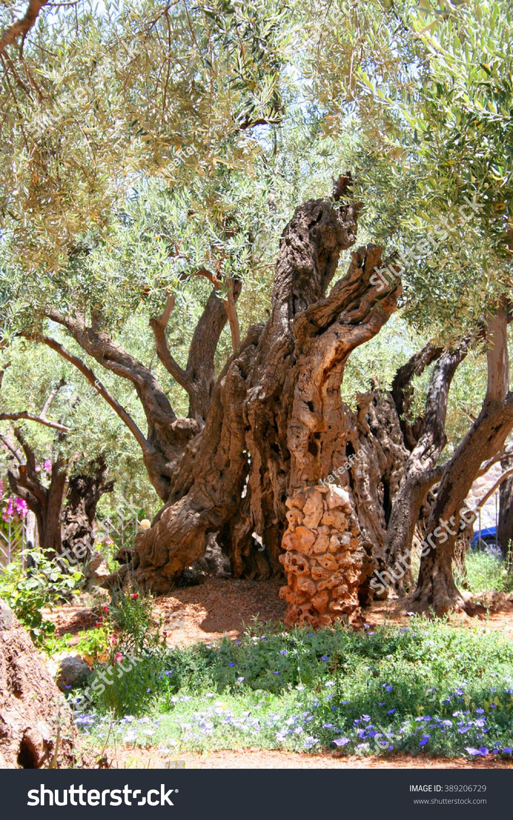 Olive Gethsemane Garden Jerusalem Very Ancient Stock Photo (Edit Now ...