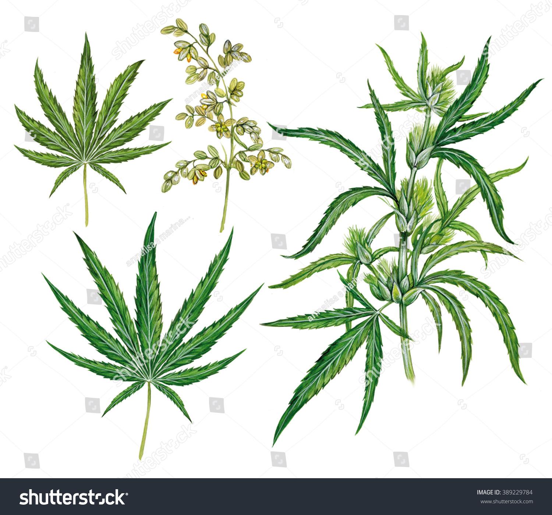 Cannabis Sativa Leaf Drawing Realistic scientific illustration of hemp ...