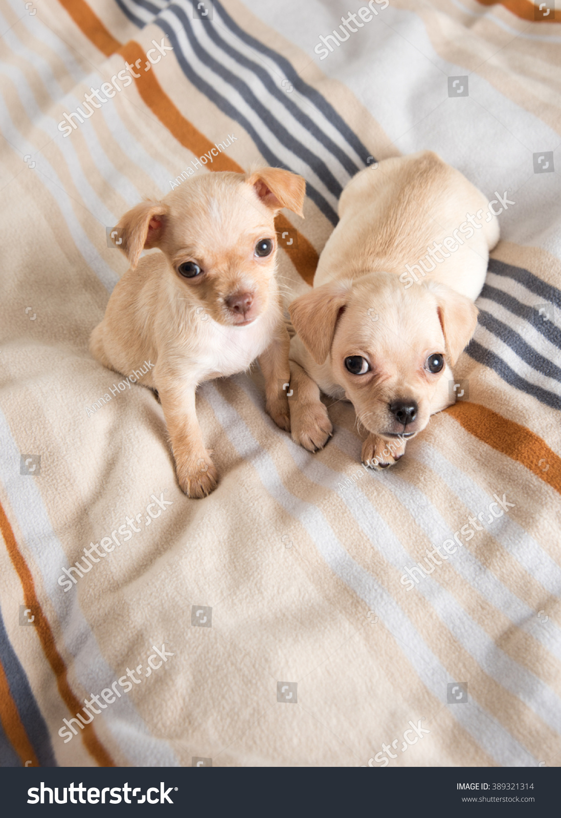 Tiny Chihuahua Puppies Playing On Striped Stock Photo Edit Now 389321314