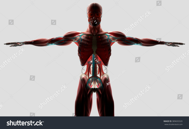 Human Anatomy Front Torso Backlit On Stock Illustration 389693320 ...
