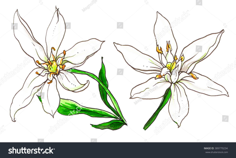 Set Star Bethlehem Flower Blossom Hand Stock Illustration 389779234