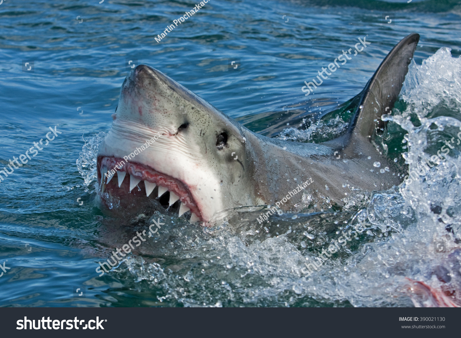carcharodon carcharias great white shark 646 the great white shark, carcharodon carcharias (lamnidae), and the tiger shark, galeocerdo cuvier (carcharhin- idae), are two of the largest species of macropredatory sharks both are known to prey on dolphins (delphini.