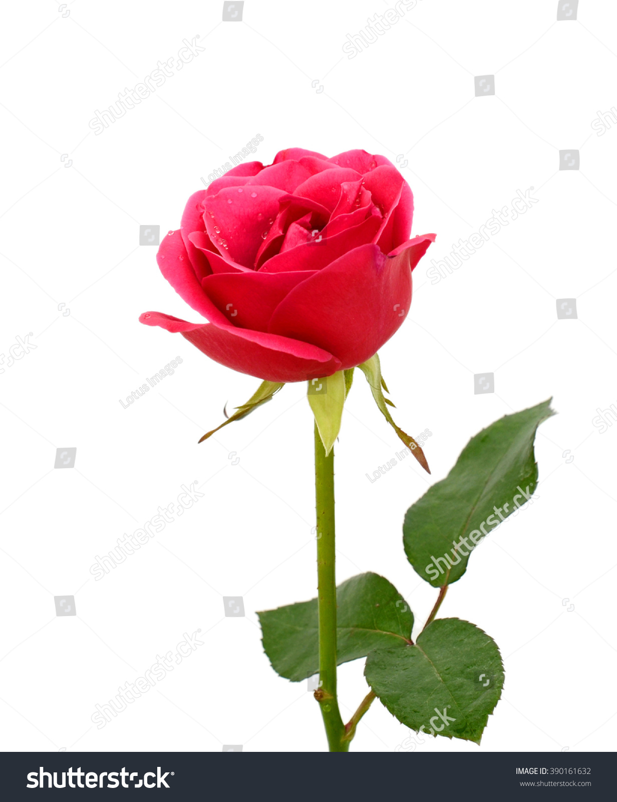 Beautiful Pink Rose Flower Isolated On Stock Photo 390161632