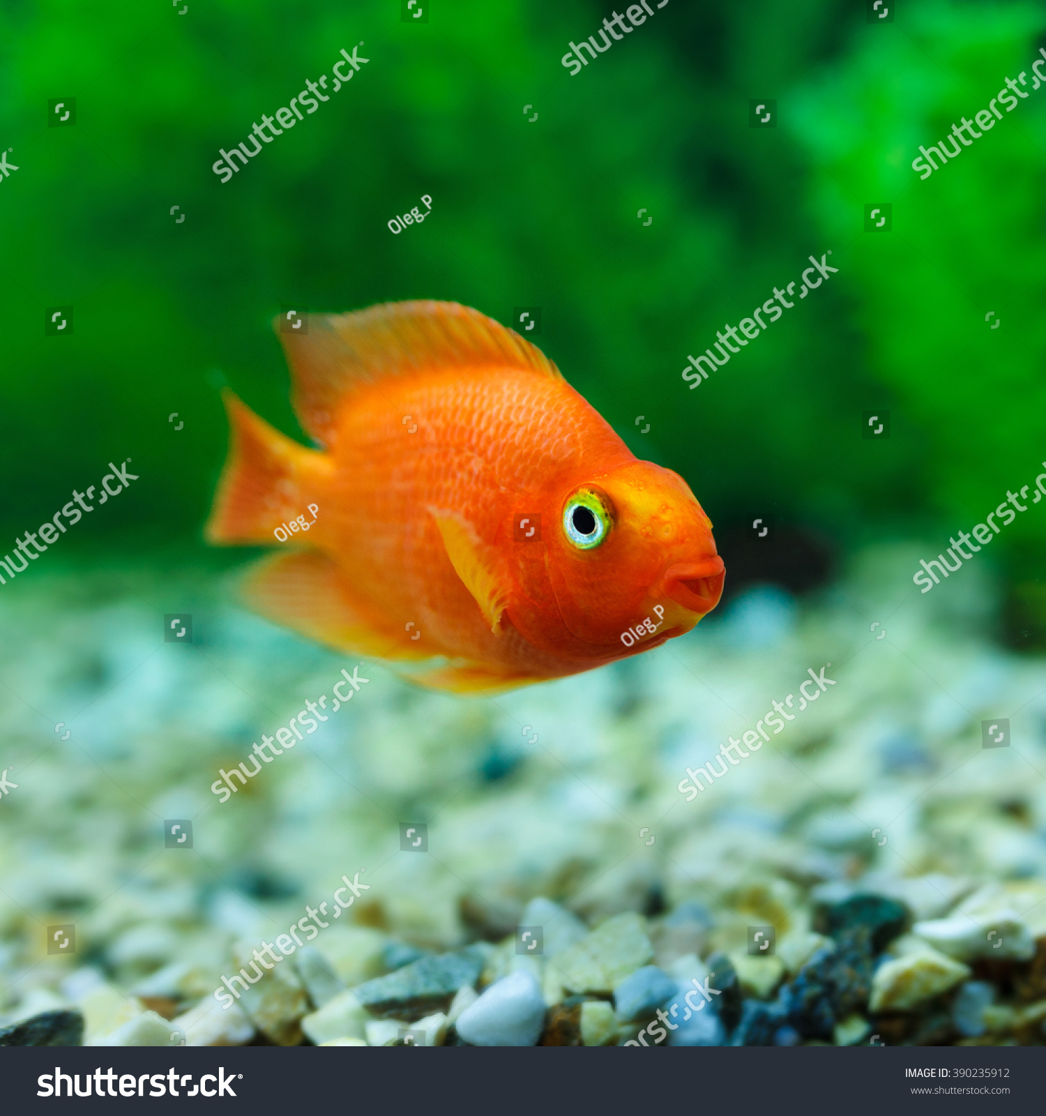 Red Blood Parrot Cichlid In Aquarium Plant Green Background