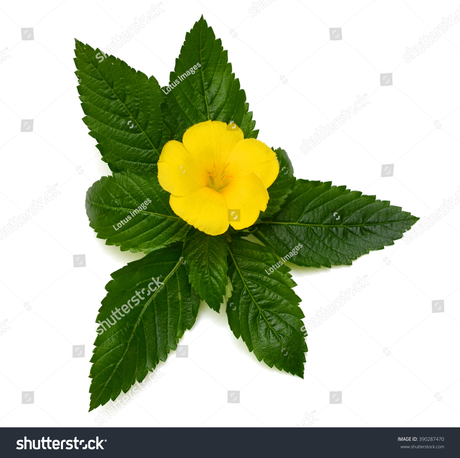 Royalty Free Beautiful Yellow Sage Rose Flower 390287470 Stock