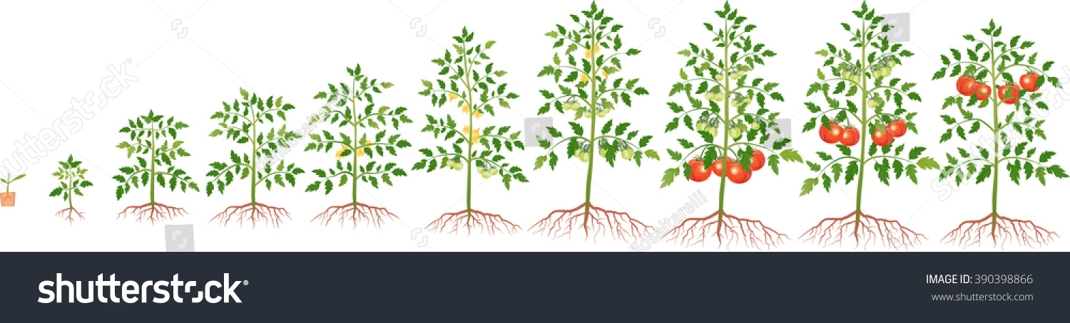 Growth Tomato Plant Stock Vector (Royalty Free) 390398866 - Shutterstock