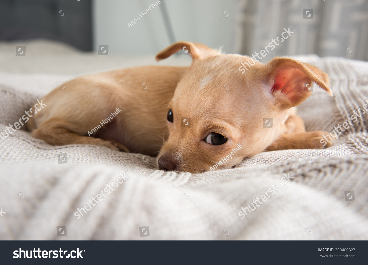 Tiny Tan Colored Chihuahua Puppy Falling Stock Photo Edit Now 390400327
