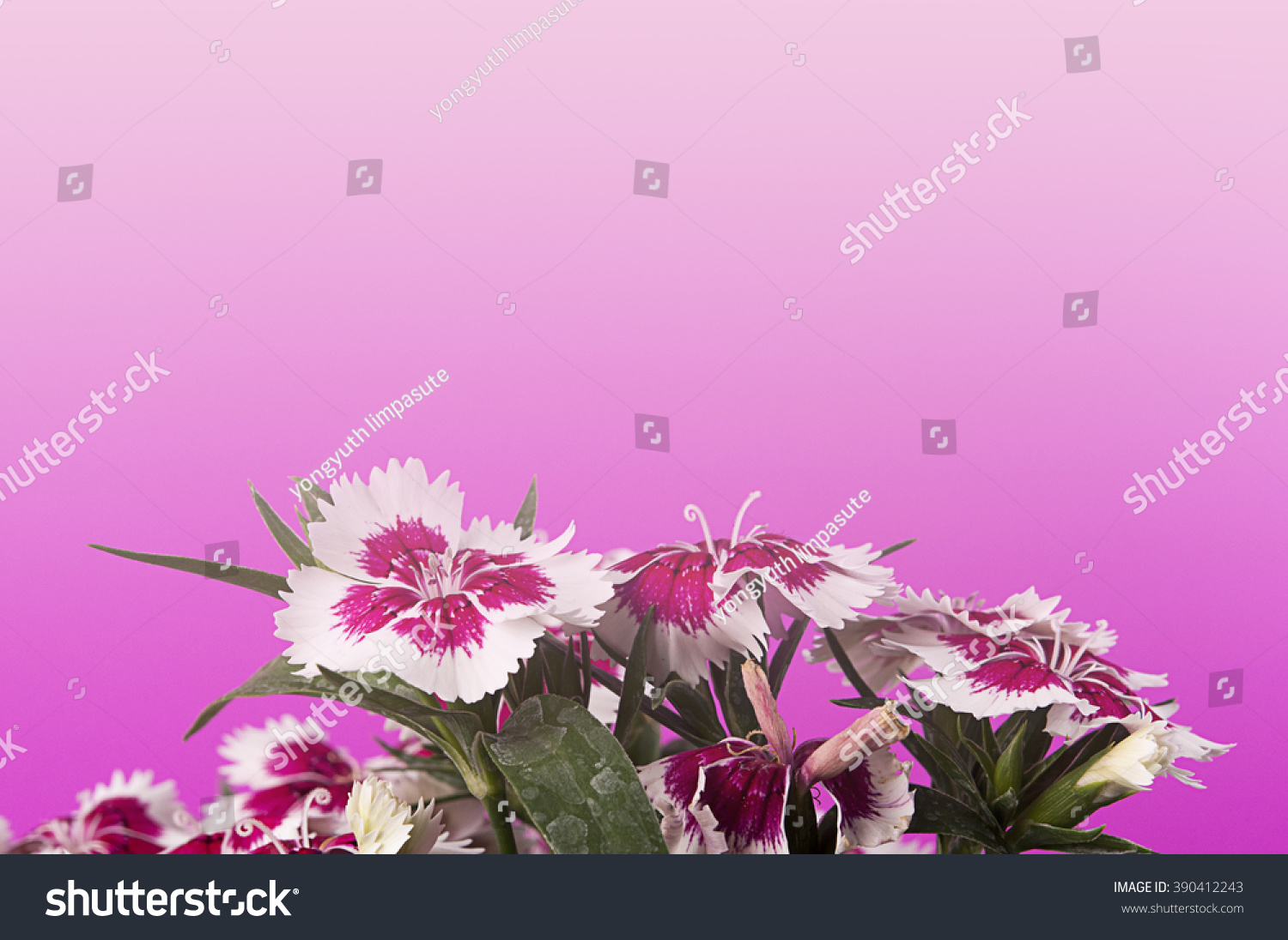 Royalty Free Pink Flower On Pink Backgrounddianthus 390412243