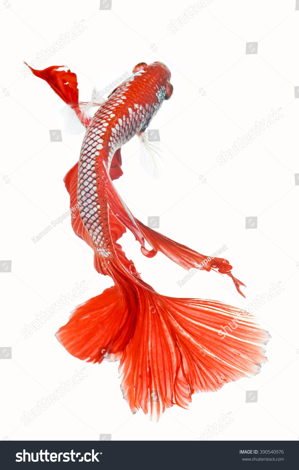 Thailand Fighting Fish Red White Color Stock Photo (Download Now ...