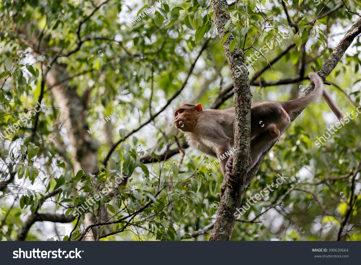 Macaque Macaca Male Sandalwood Forest Reserve Stock Photo (Edit Now