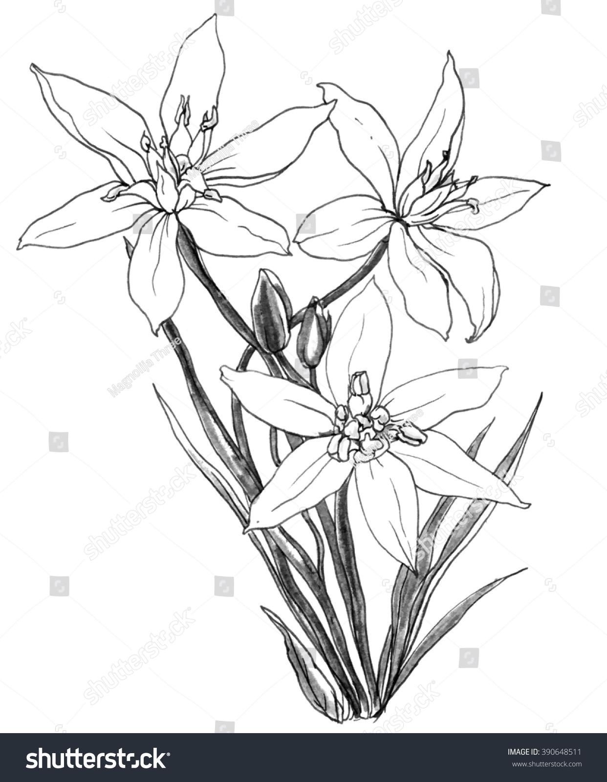 White Star Bethlehem Flower Blossom Bouquet Stock Illustration