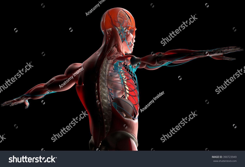Royalty Free Stock Illustration Of Human Anatomy 3 D Male Torso