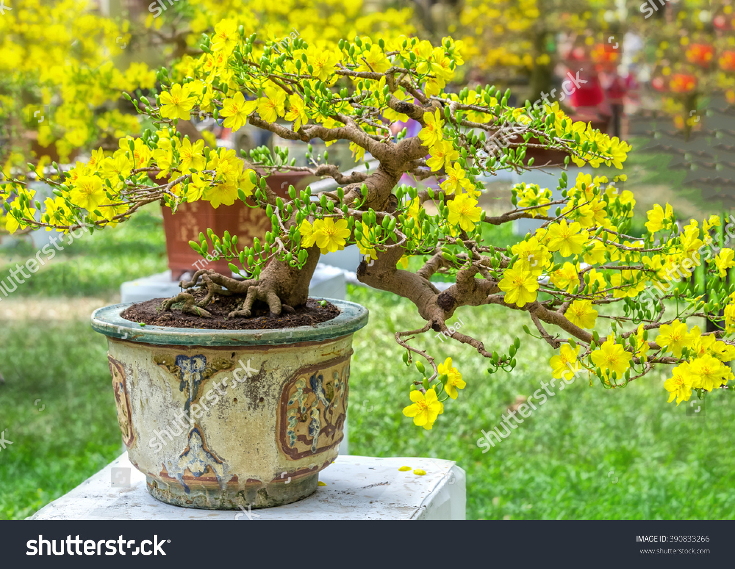 Apricot Bonsai Tree Spring Blooming Trees Stock Photo Edit Now