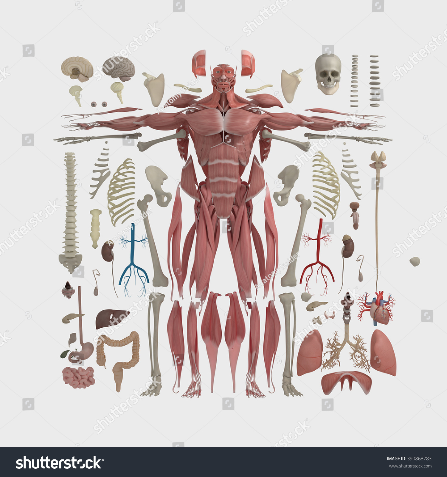 Human Anatomy Flat Lay Illustration Body Stockillustration 390868783