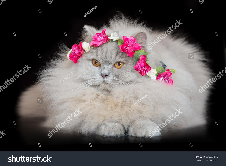 Adorable British Longhair Cat Flower Crown Stock Photo Edit Now
