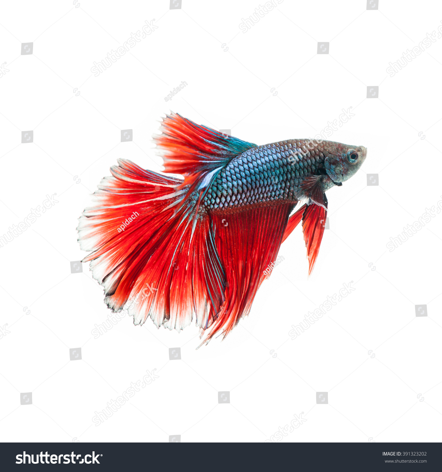 Thai Fighting Fish Beautiful Color Stock Photo (Royalty Free ...