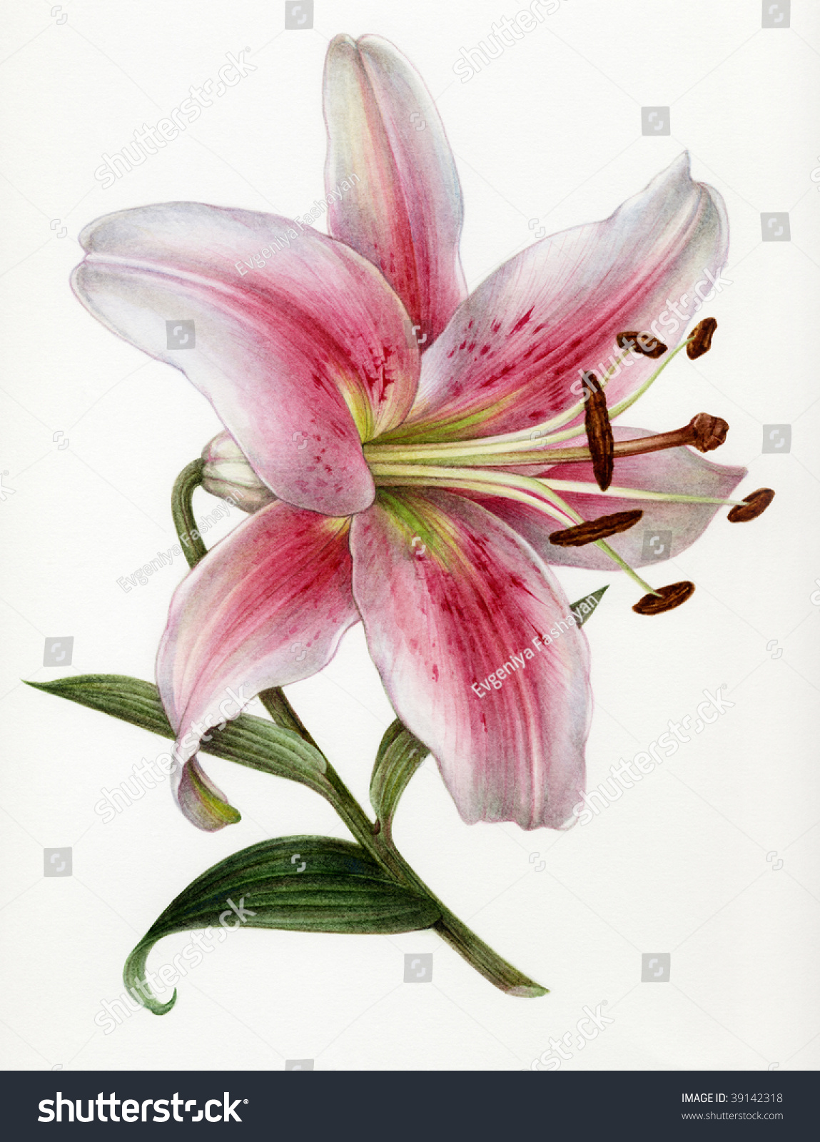 Watercolor painting flower lily stock illustration 39142318 watercolor painting of a of a flower of a lily izmirmasajfo Choice Image