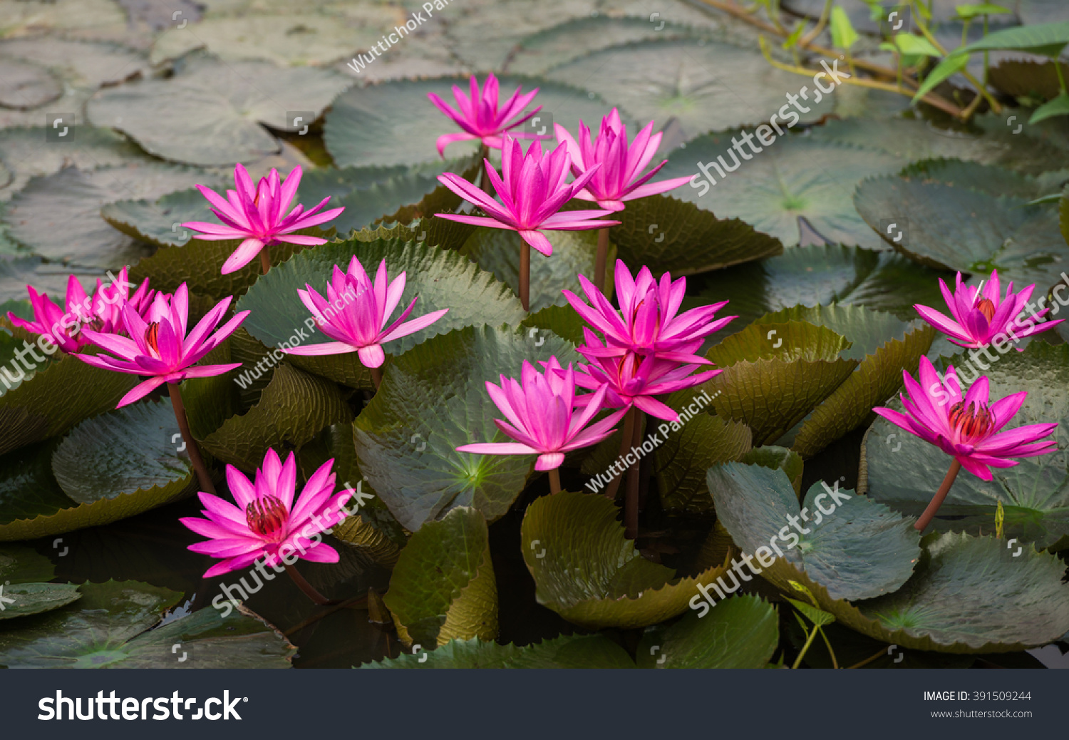 Close up pink color fresh lotus blossom or water lily flower close up pink color fresh lotus blossom or water lily flower blooming on pond background nymphaeaceae ez canvas izmirmasajfo