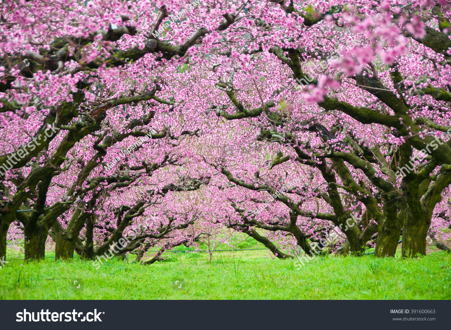 Pink Flowers Trees Tunnel Stock Photo Edit Now 391600663