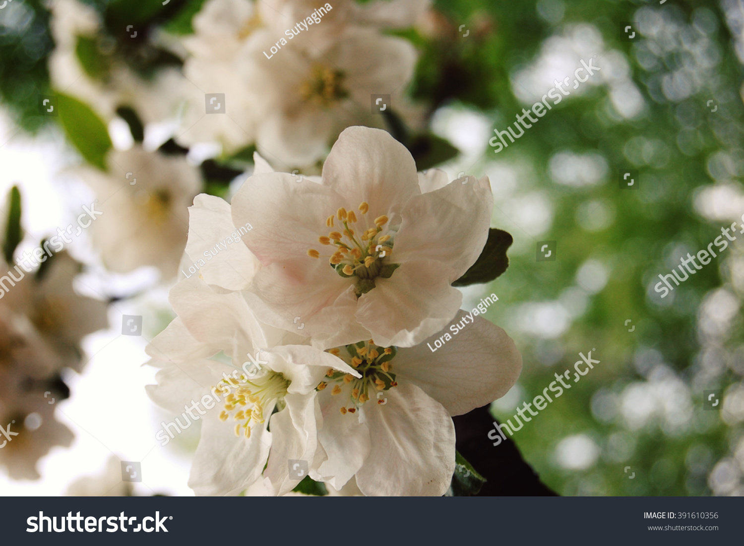 Apple Flowers Bloom Aged Photo Flowers Stock Photo Royalty Free
