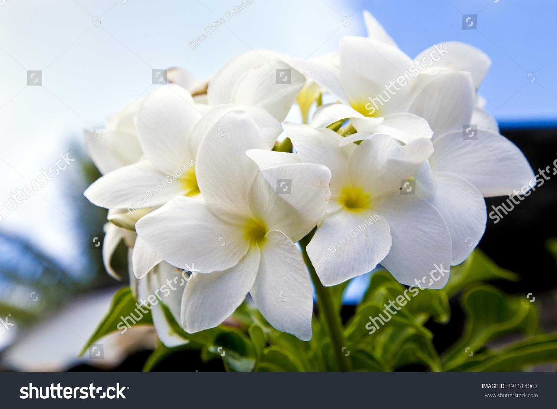 White Tropical Flowers Bora Bora Island Stock Photo Edit Now