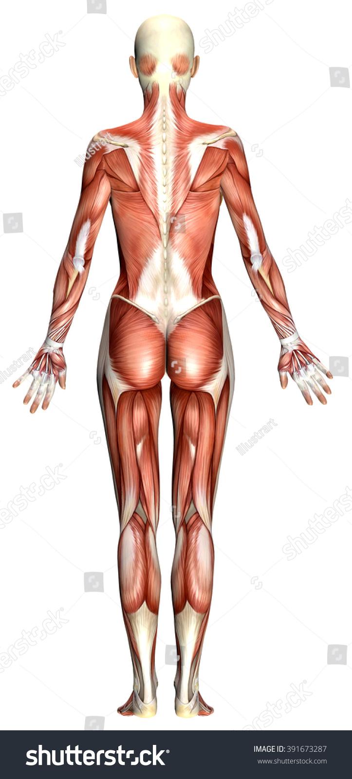 3d Female Body Anatomy Isolated On White Ez Canvas