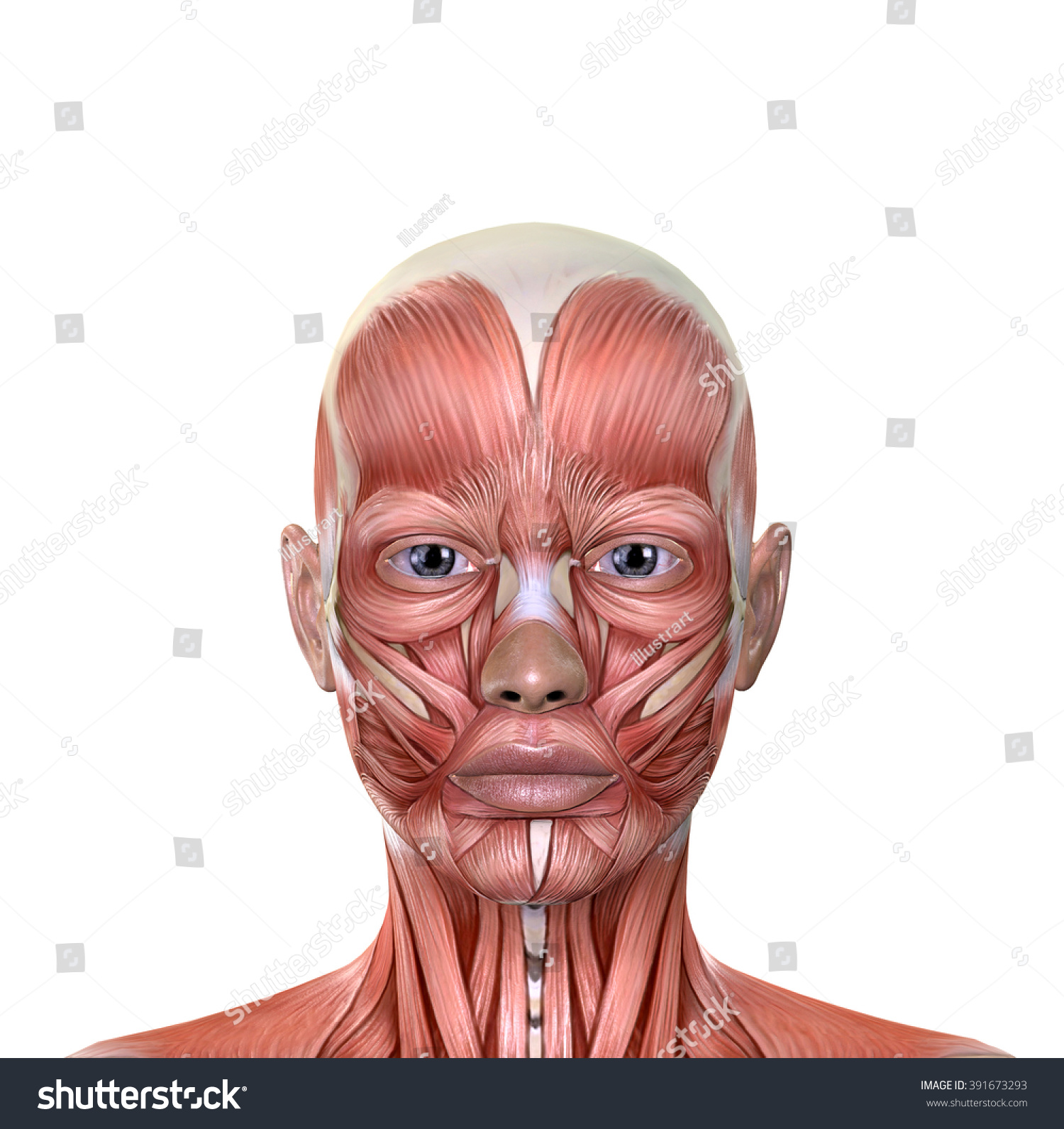Human Side Face Anatomy Female Face Muscles An...