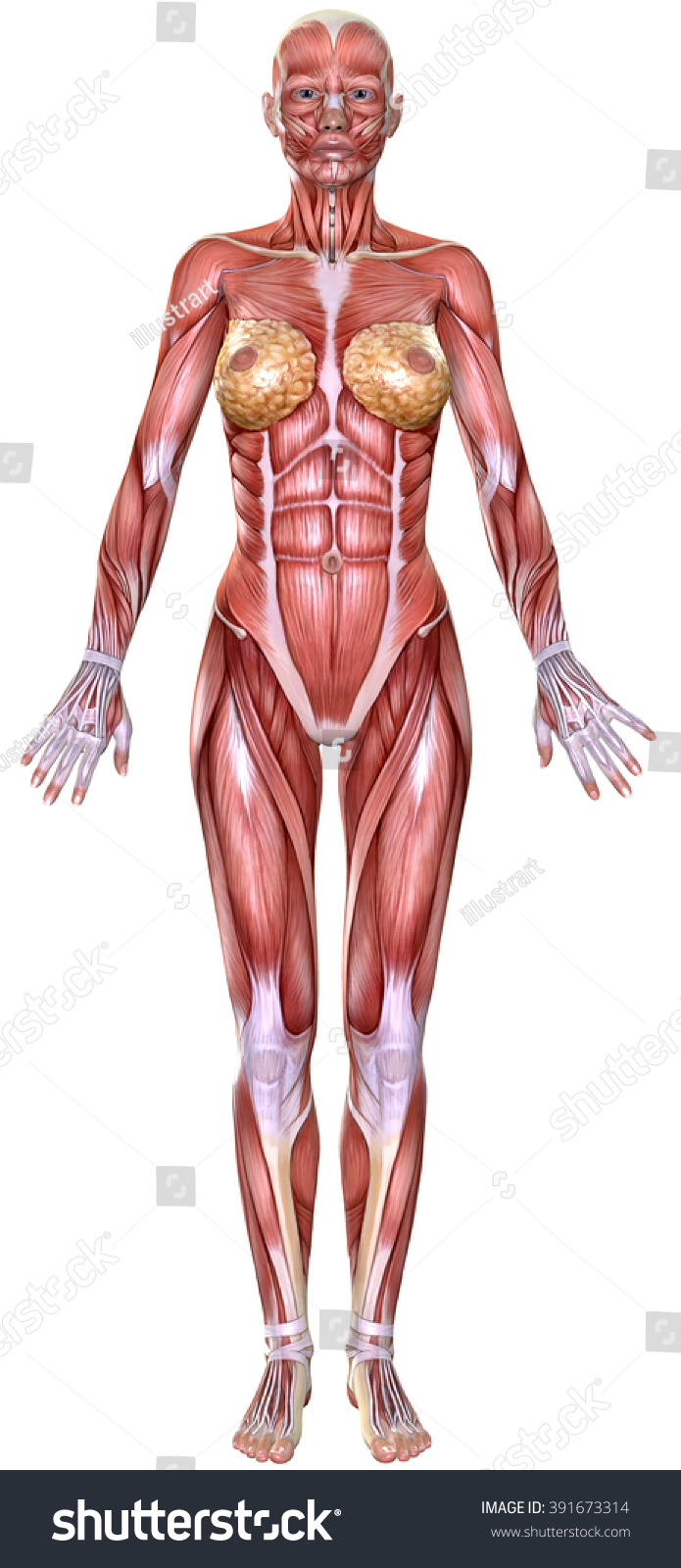 3 D Female Body Anatomy Isolated On Stock Illustration 391673314 ...