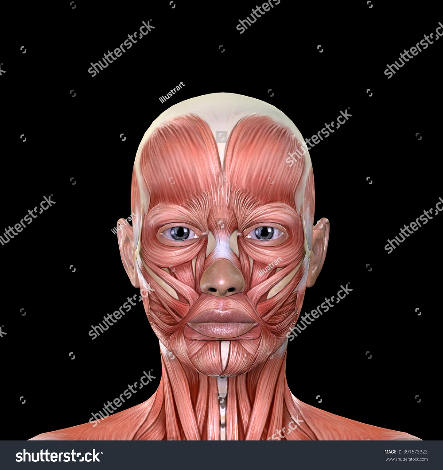Female Face Muscles Anatomy Isolated On Stock Illustration 391673323 ...