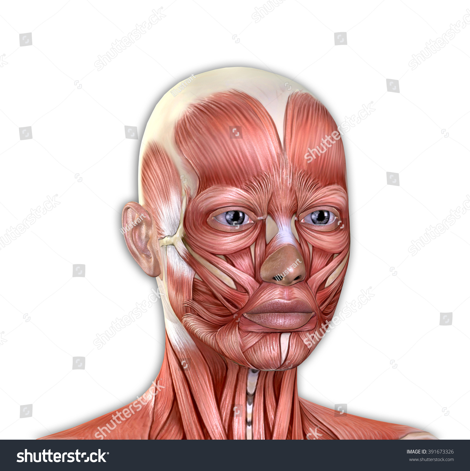 Female Face Muscles Anatomy Isolated On Stock Illustration 391673326 ...