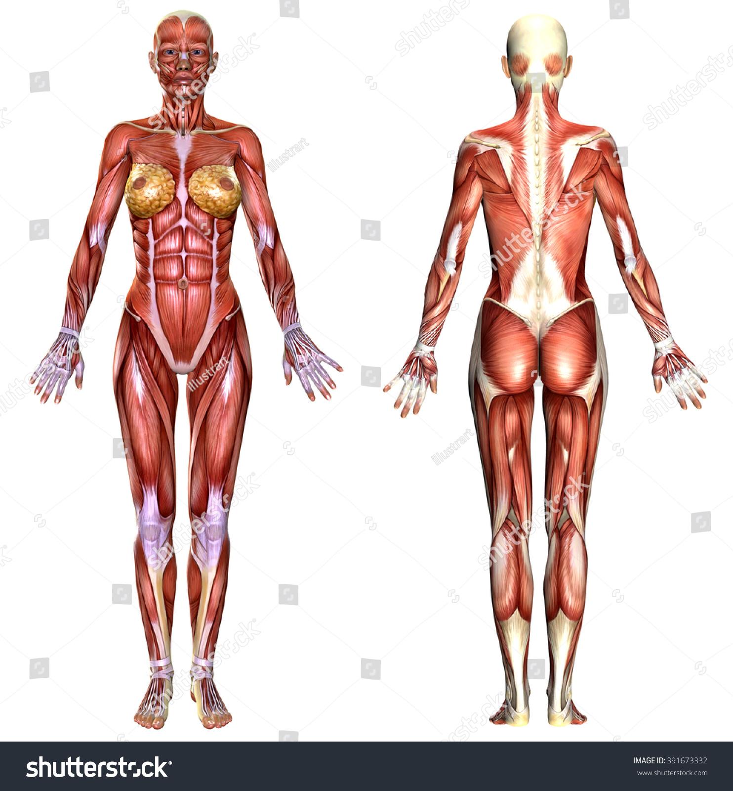 3 D Female Body Anatomy Isolated On Ilustración de stock391673332 ...