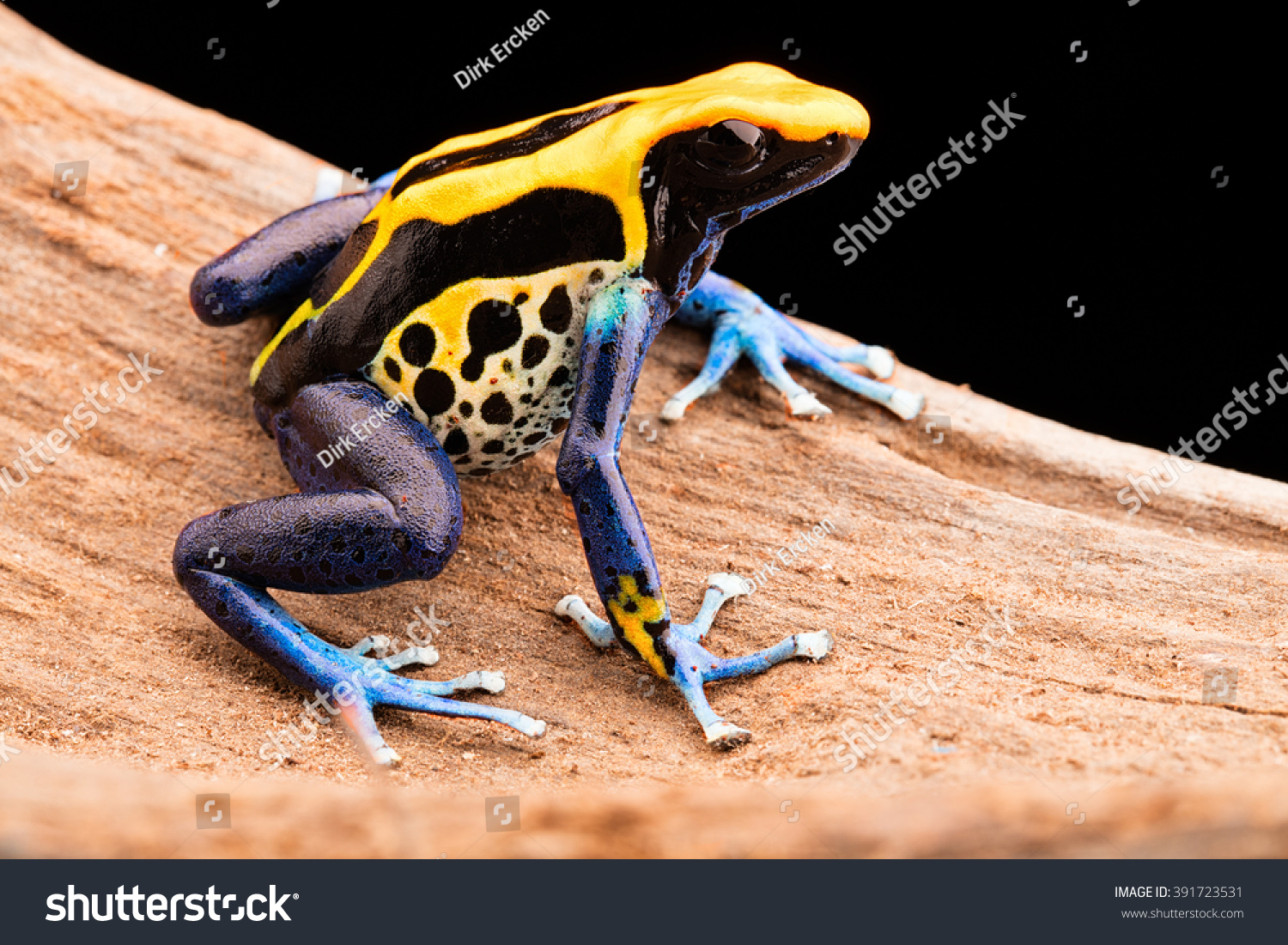 Poison Dart Frog Dendrobates Tinctorius Poisonous Stock Photo ...