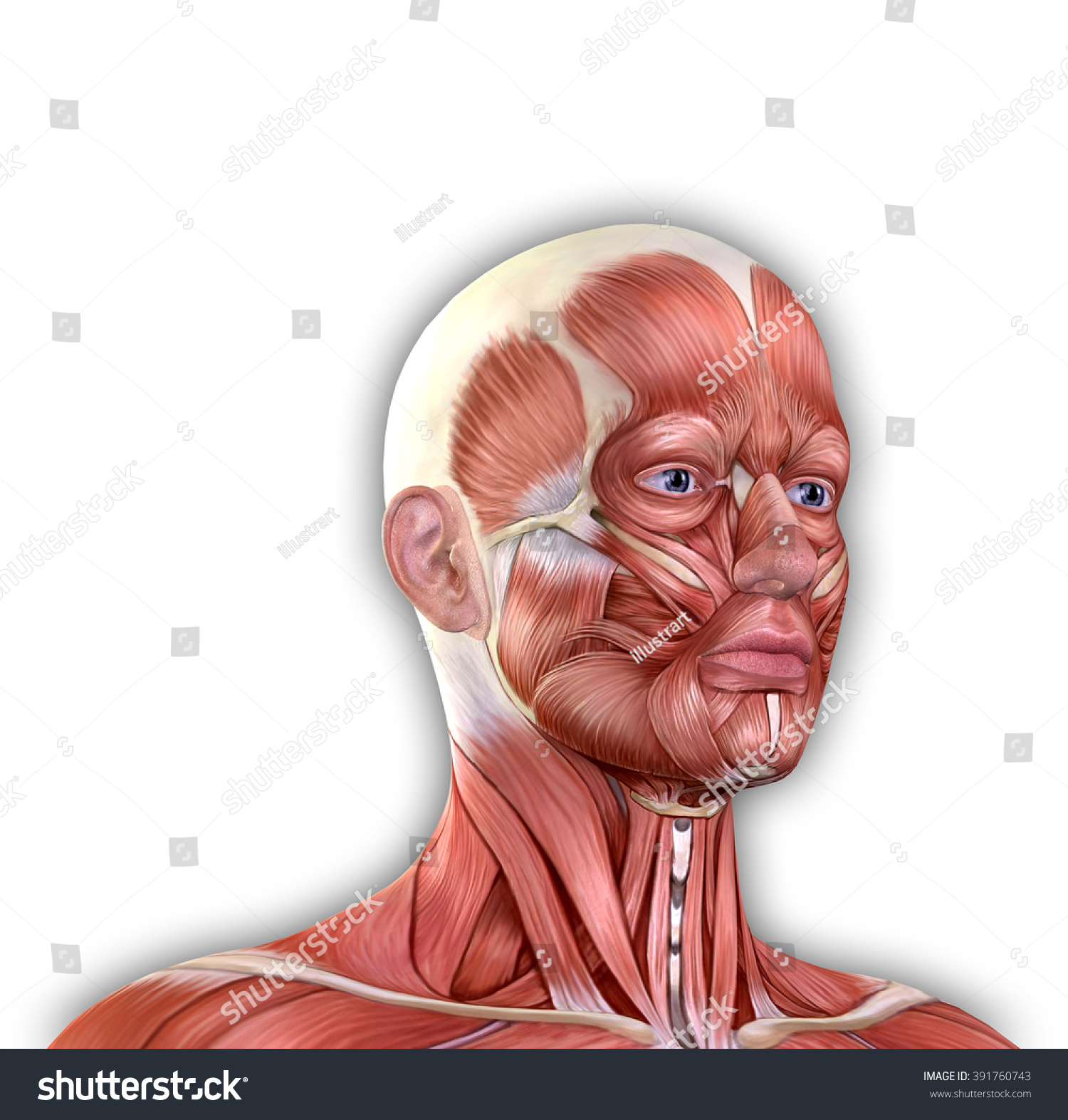 Male Face Muscles Anatomy Isolated On Stock Illustration 391760743 ...