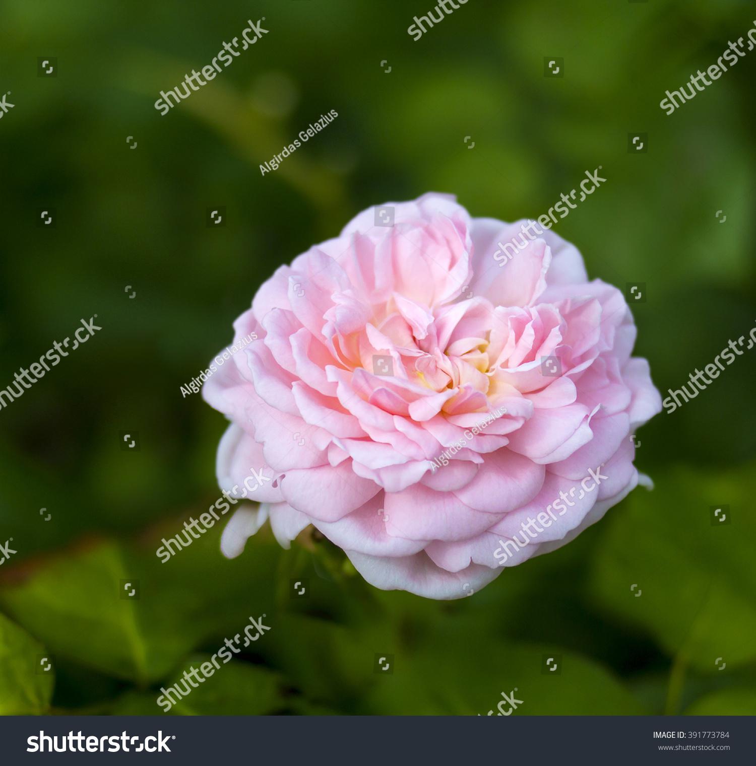 8a3b6cc9e3f024 EGLANTYNE English Rose - bred by David Austin Shrub Rose Perfectly formed