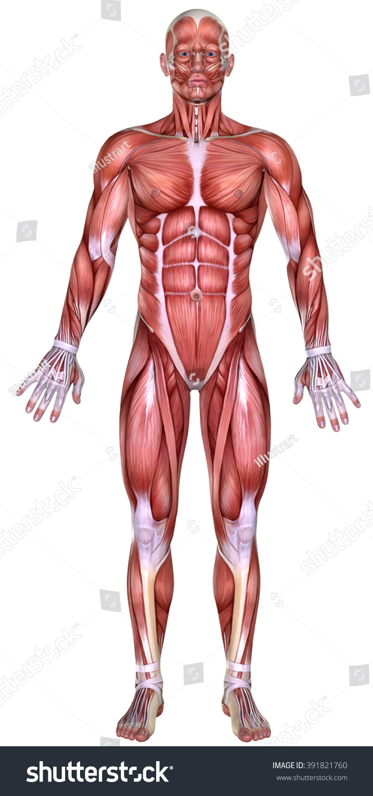 3d Male Body Anatomy Isolated On White Ez Canvas