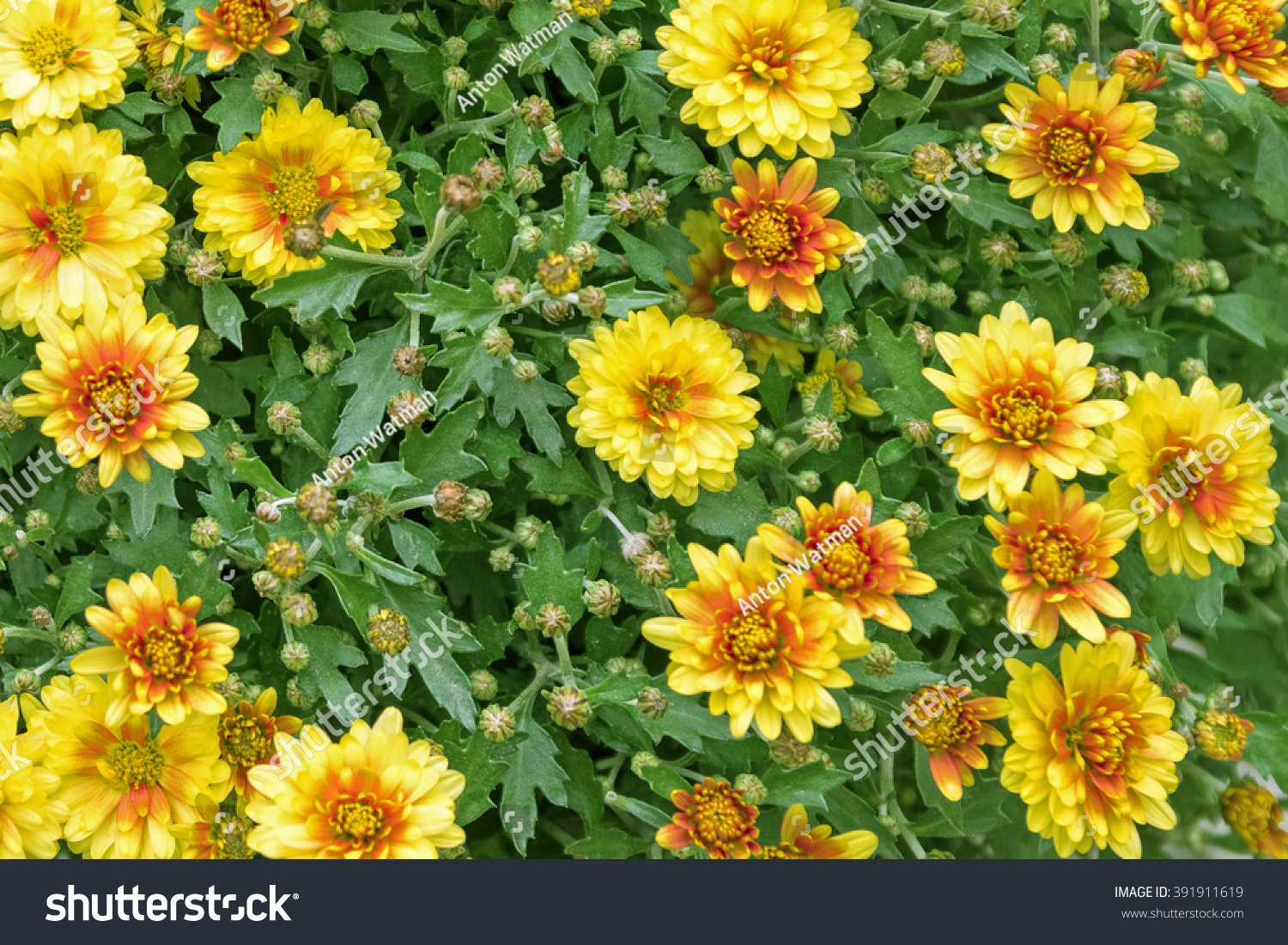 Green Shrub Small Yellow Flowers Stock Photo Edit Now 391911619