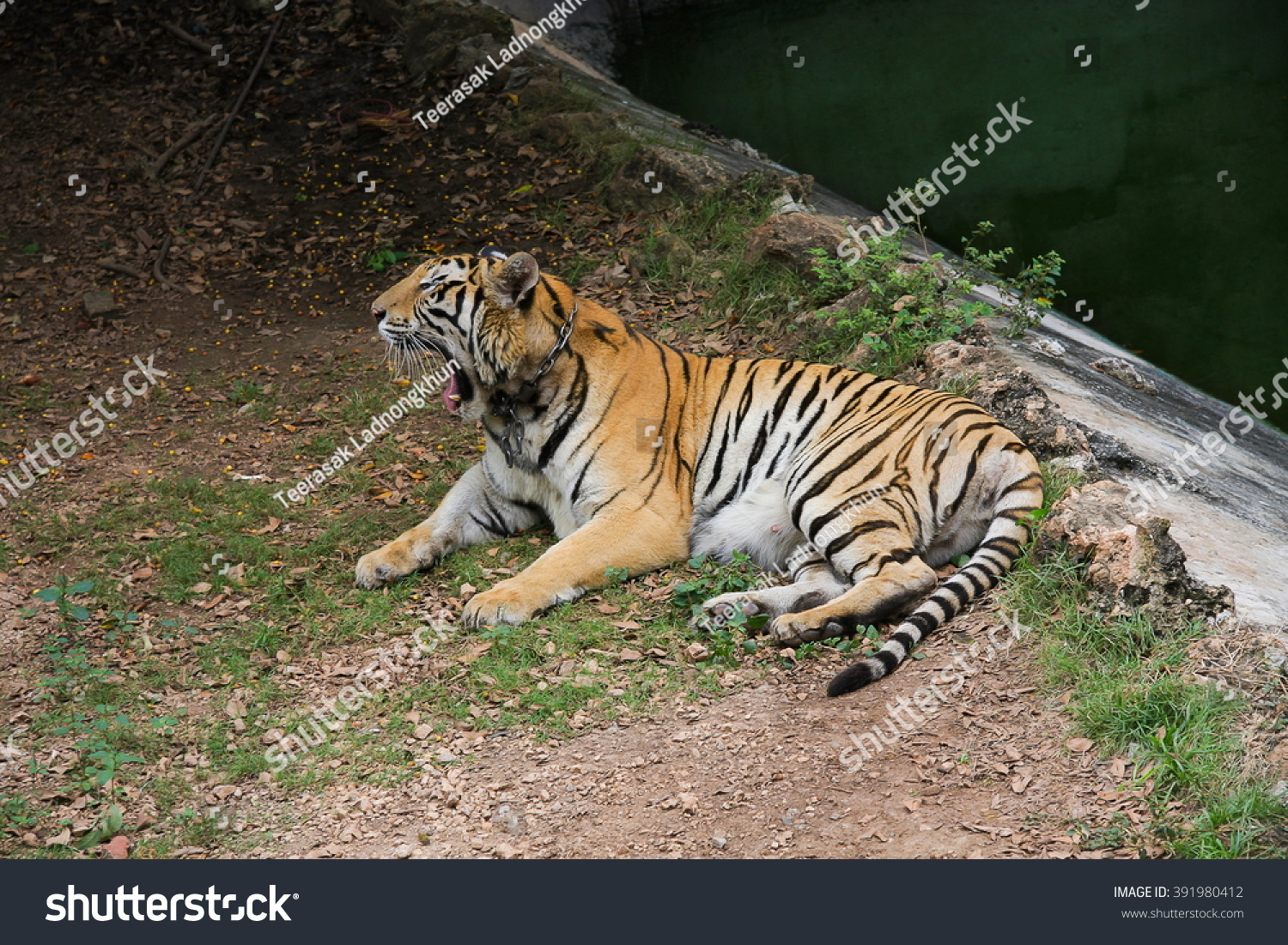 tiger relax near river stock photo 391980412 - shutterstock