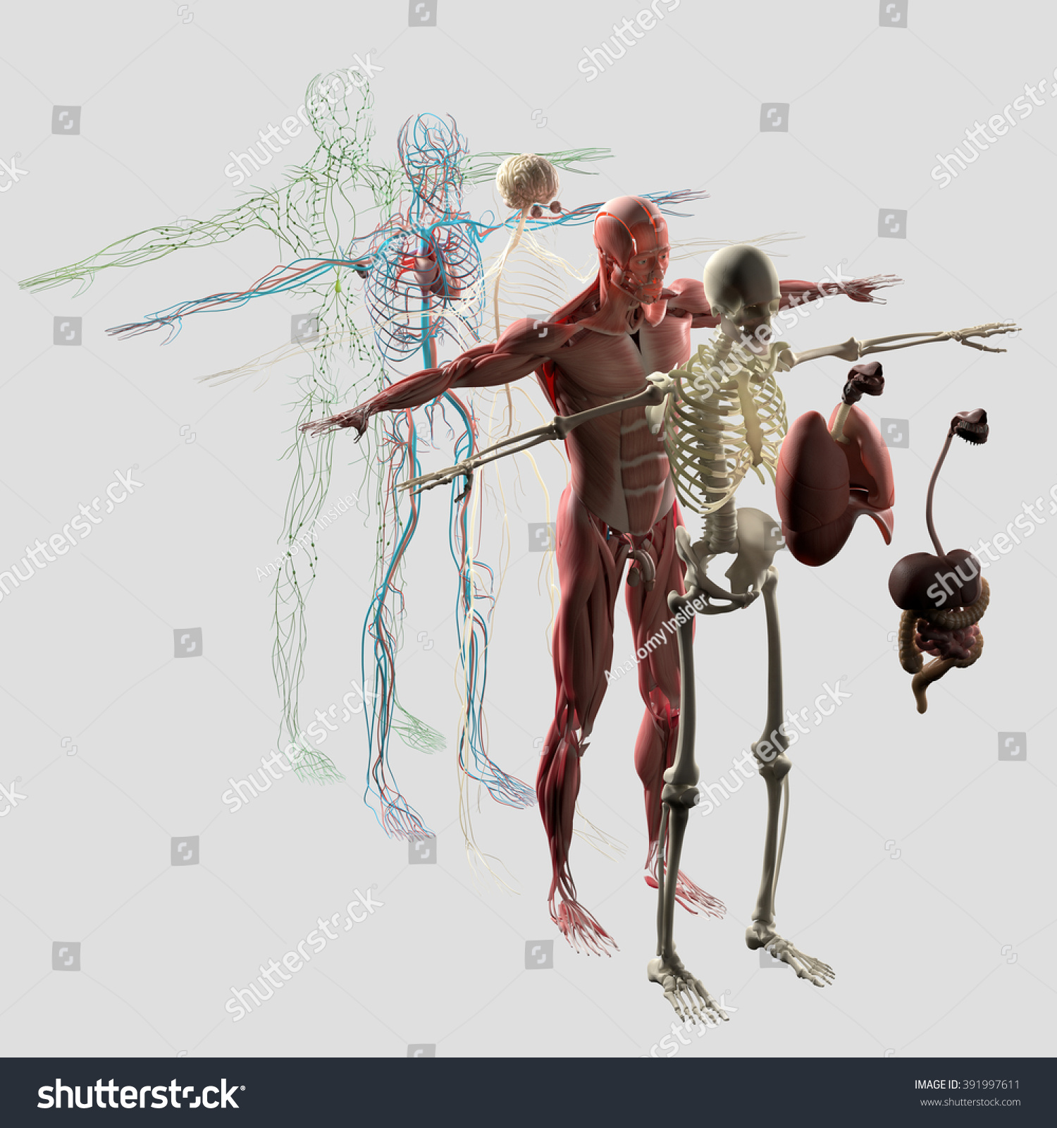 Royalty Free Stock Illustration Of Human Anatomy Exploded View
