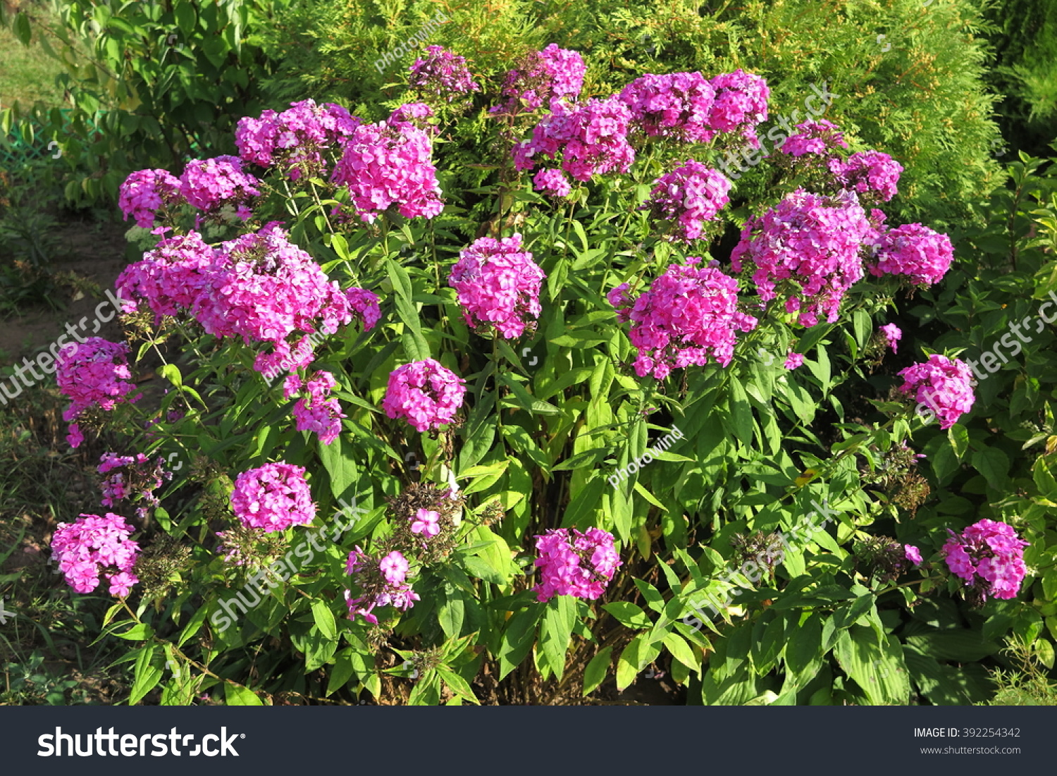 Blooming Cultivar Garden Phlox Phlox Paniculata Stock Photo