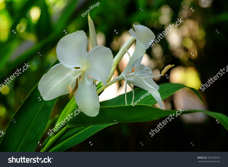 White Ginger Lily Flower On The Garden Hedychium Coronarium Ez Canvas