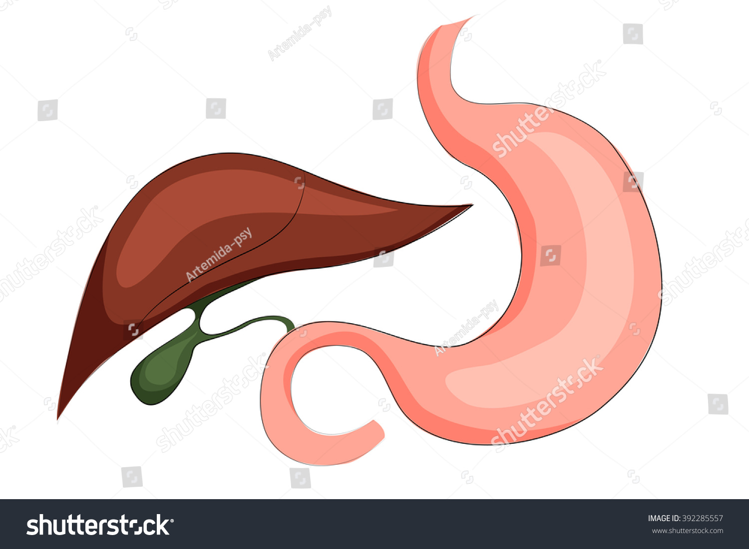 Illustration Of Stomach Liver And Gall Bladder  Digestive