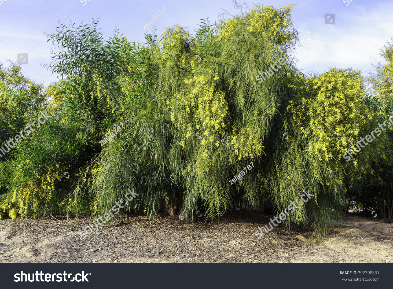 Acacia A Green Tree With Yellow Flowers Ez Canvas