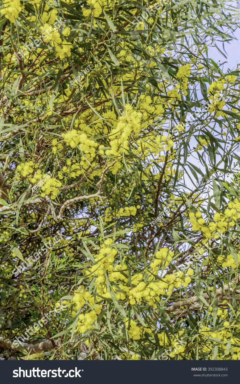 Royalty Free Acacia A Green Tree With Yellow Flowers 392308843