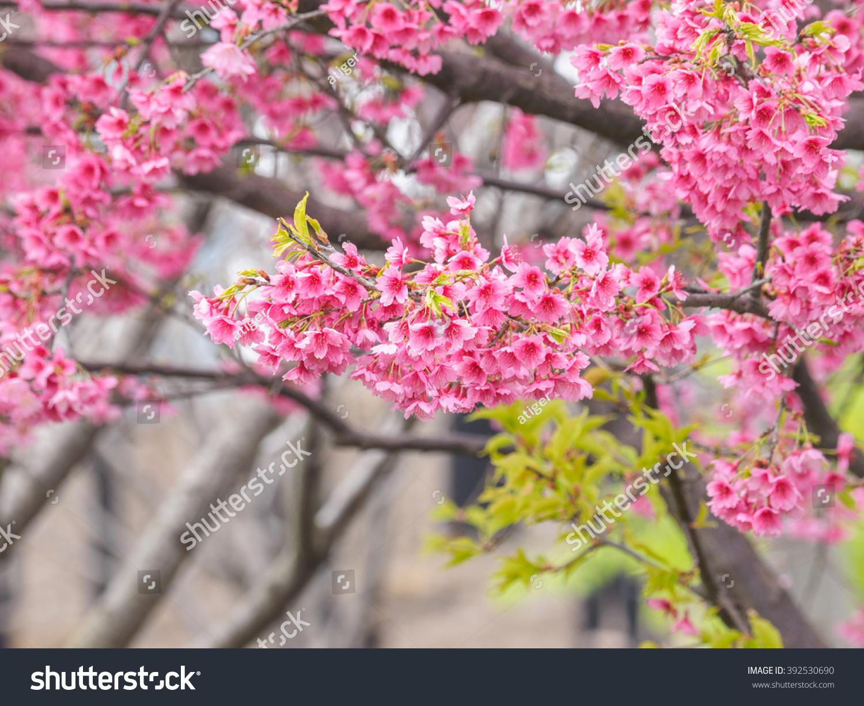 spring flowers series sakura flower or cherry blossom