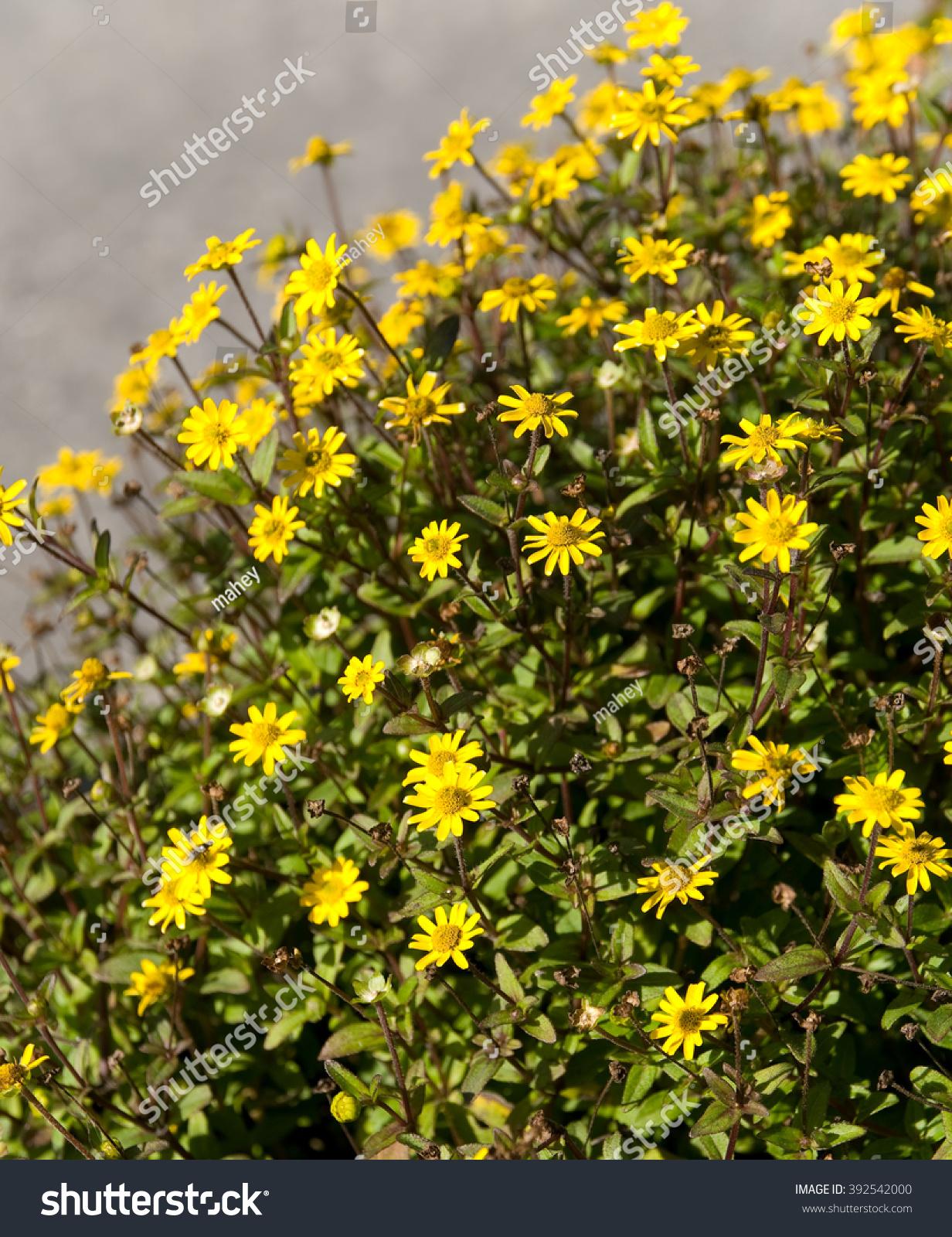Creeping Zinnia Yellow Little Flowers Annual Stock Photo Edit Now