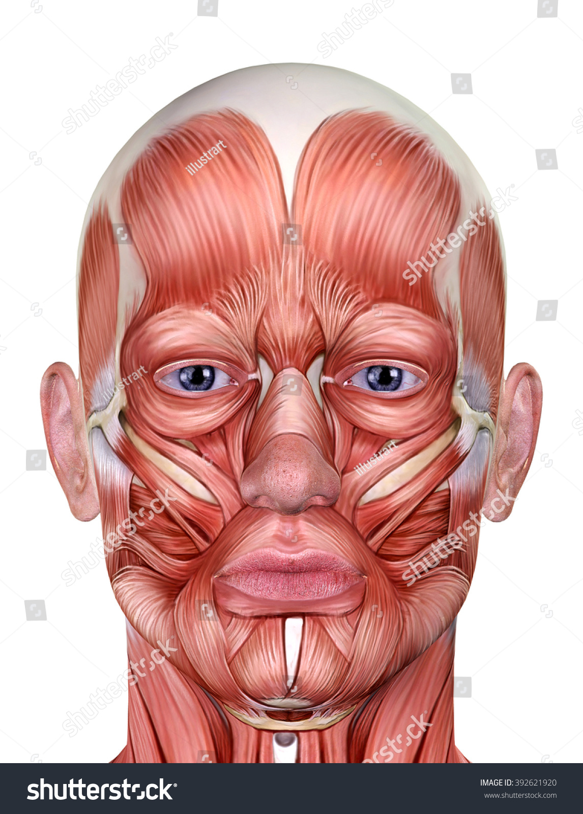 Male Face Muscles Anatomy Isolated On Stock Illustration 392621920
